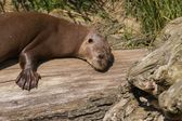 Giant otter — Foto Stock