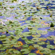 Wallpaper of lilypads in water - Stock Photo