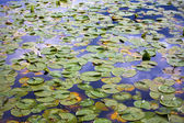 Wallpaper of lilypads in water — Stock Photo