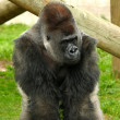 Silverback gorilla — Stock Photo #18694437