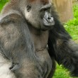 Silverback gorilla — Stock Photo #18694449