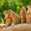 Prairie dogs on rock — Stock Photo #18694469