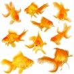 Collage of nine fantail goldfish on white — Stock Photo