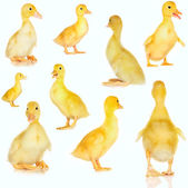 Collage of cute baby ducklings on white — Stock Photo