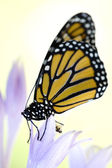 Beautiful monarch butterfly — Stock Photo