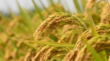 Uprawy ryżu — Wideo stockowe