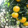Stock Video: Ripe oranges