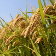 Rice Paddy — Stock Video