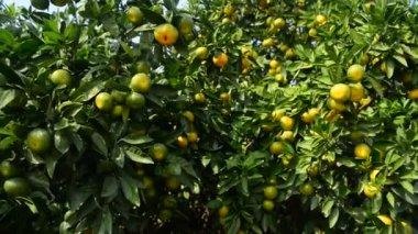 Ripe orange on the tree — Stock Video