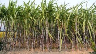 Sugar Cane Plantation — Stock Video