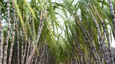 Sugar Cane Plantation — Stock Video