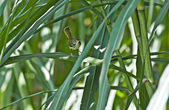 Common Tailorbird dancing, moving amongst green reeds, grass blades, copy s — Stock Photo