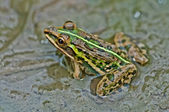 Frog, Bullfrog, waiting in a mud puddle partly submerged with green algae, — Stock Photo