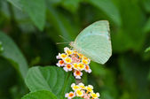 Butterfly, Common Emigrant, Catopsilia piomona, sucking honey from flower, — Stock Photo