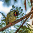 Beautiful small Bird Coppersmith Barbet perched branch scratchin — Stock Photo