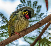 Beautiful small Bird Coppersmith Barbet perched branch scratching_Closeup — Stock Photo