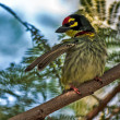 Beautiful small Bird Coppersmith Barbet perched branch one wing — Stock Photo