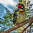 Beautiful small Bird Coppersmith Barbet perched on a tree branch — Stock Photo