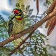 Beautiful small Bird Coppersmith Barbet perched on a tree branch — Stock Photo #13379580