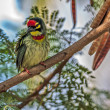 Stock Photo: Beautiful small Bird Coppersmith Barbet perched on a tree branch