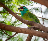 Uccello, blu-throated barbet appollaiato su un ramo — Foto Stock