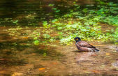 Common Myna, Acridotheres tristis, bird, pond, birdbath — Stock Photo