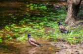 Two Common Myna, Acridotheres tristis, bird, pond, birdbath — Stock Photo