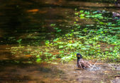 Common Myna, Acridotheres tristis, bird, pond, birdbath — ストック写真