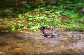 Common myna, acridotheres tristis, oiseau, étang, fontaine — Photo