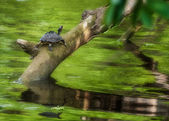 Pond turtle, tortoise, on a tree branch over water in sun, copy space, Indian Tent Turtle, Pangshura tecta — Stock Photo