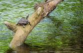 Tortue, tortue, sur une branche au-dessus de l'eau en soleil, copie espace, tortue tente indienne, pangshura tecta — Photo