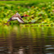 Red-crested Pochard,migratory, bird, Diving duck, Rhodonessa ruf — Stock Photo
