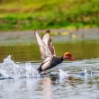 Red-crested Pochard,migratory, bird, Diving duck, Rhodonessruf — Stock Photo #19348681