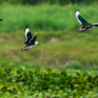 Cotton Pygmy-goose, Nettapus coromandelianus,  migratory birds, — Stock Photo