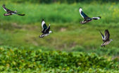 Cotton Pygmy-goose, Nettapus coromandelianus, migratory birds, — Fotografia Stock