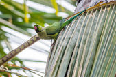 Rose-ringed Parakeet, perched on a tree branch, nature, copy spa — Stock Photo