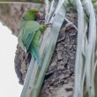 Stock Photo: Rose-ringed Parakeet, perched on tree branch, nature, copy spa