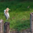 Cattle Egret, perched on a wooden pole in green background, copy — Stock Photo