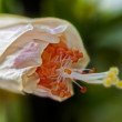 Close up Pink hibiscus bud, pollen, pollination, plant, nature — Stock Photo