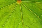 Leaf pattern, green, veins, backlit, nature, fresh close up, mac — Stock Photo
