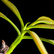 Close up, green leaves, young soot, sprout, isolated on black bacground — Stock Photo
