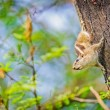 Indian Palm Squirrel, Funambulus palmarum, on a tree trunk — Stock Photo