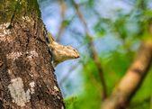 Indian Palm Squirrel, Funambulus palmarum, on a tree trunk — Stock Photo