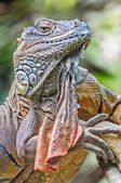 Vertical close up of Lizard, Iguana, Iguana iguana, basking in t — Stockfoto