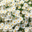 Sunny chamomile flowers background. — Stock Photo