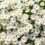 Sunny chamomile flowers background. — Stock Photo