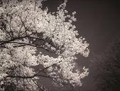 Magnolia tree in bloom. — Stock Photo