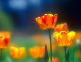 Tulips. — Stock Photo