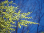 Spring branches of willow. — Stock Photo