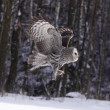 Great Grey Owl or Lapland Owl lat. Strix nebulosa — Stock Photo
